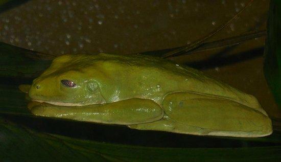 Veragua Rainforest Park: Live frog