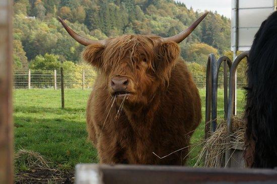 Trossachs Woollen Mill: Highland Cow