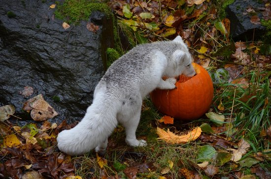 Woodland Park Zoo: Arctic Fox enjoying his special treat during Pumpkin Bash