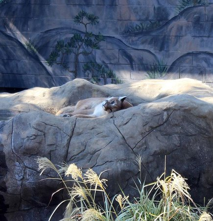 Chattanooga Zoo: Cougar sleeping