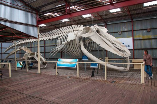 Albany, Australie : Blue whale total length