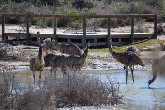 Mungo National Park: Emus drinking at waterhole