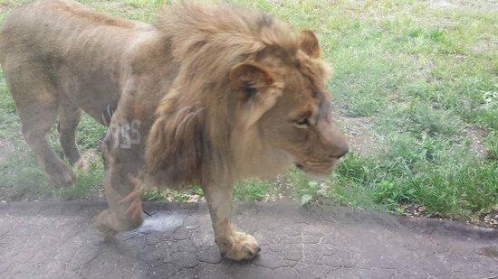 Utah's Hogle Zoo: Lion walking right up to the glass.