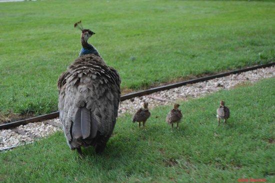 Jardin Massey : la famille Paon en promenade