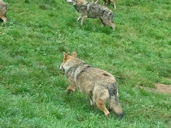 Parc de Courzieu : des loups en semi-liberté