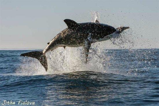Shark Diving Unlimited: Great white shark - breaching