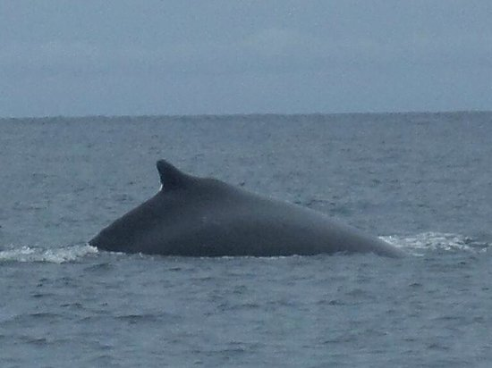 Perlas Islands (Las Perlas Archipelago): Whale watching2