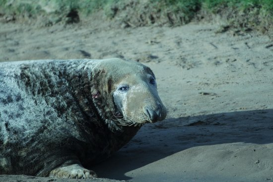 Donna Nook Nature Reserve: Posing Seal