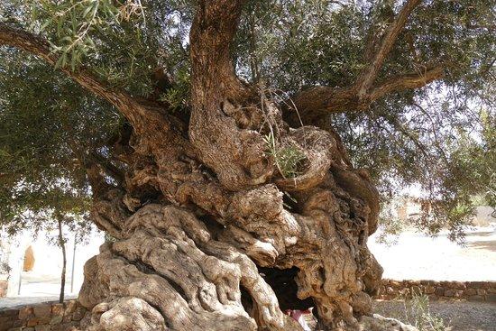 Vouves, Griekenland: Olivenbaum 3500 Jahre alt