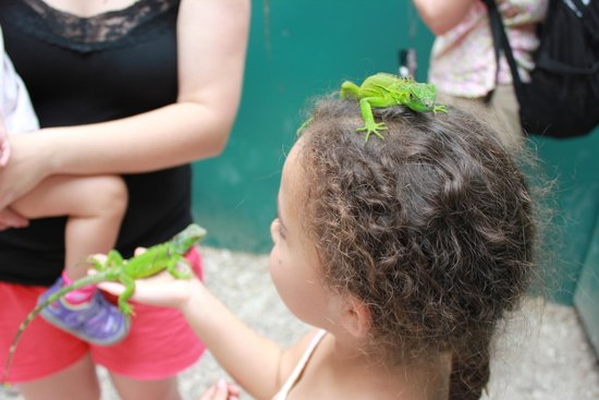 Green Iguana Conservation Project: Hands on experience encouraged