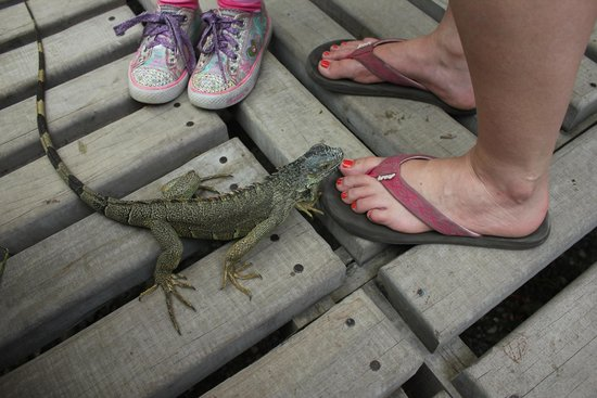 Green Iguana Conservation Project: Iguanas of all ages and sizes