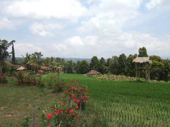 Puri Lumbung Cottages: Rizières et champs de l'hotel