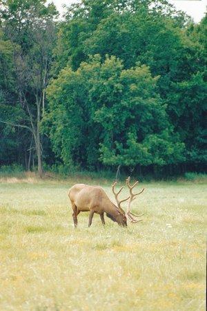 Busse Woods Trail System: Bull Elk at Busse Woods Elk Preserve