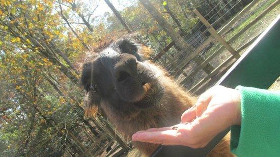Sunburst Stables Adventure Park: Feeding the Llama