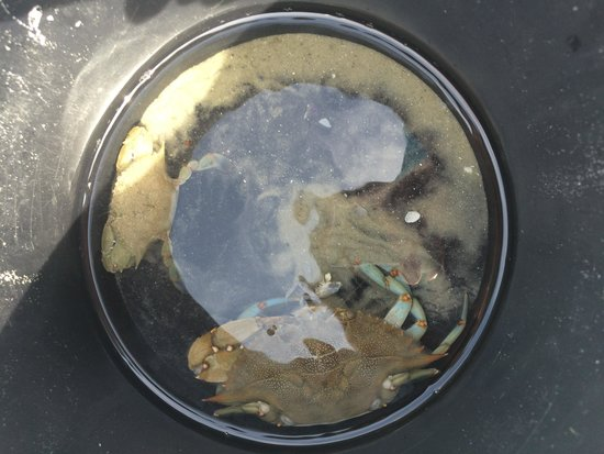 Marine Discovery Center: Blue Crabs