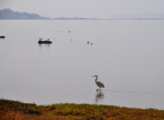 Semiahmoo Resort: Waterfowl in Drayton Harbor.