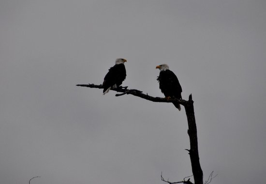 Semiahmoo Resort: Bald eagles along the spit.