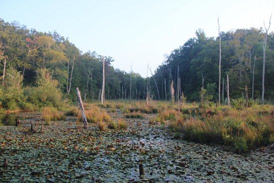 Calvert Cliffs State Park - Swamp