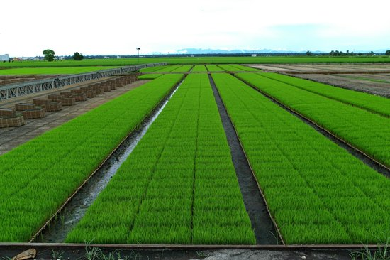 Sekinchan Paddy Fields 2018 All You Need To Know Before You Go With Photos Sekinchan