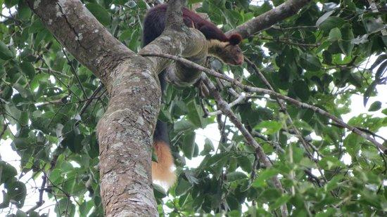 Malabar giant squirrel picture of wild planet jungle - Plante jungle ...