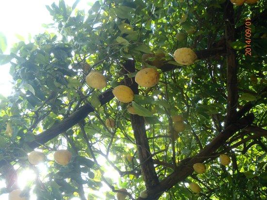 lemon tree picture of amalfi lemon experience amalfi tripadvisor. Black Bedroom Furniture Sets. Home Design Ideas