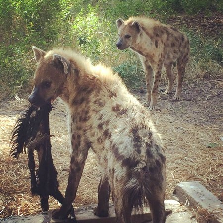 Abuko Nature Reserve: Hyenas have a nice new home,as do the monkeys.