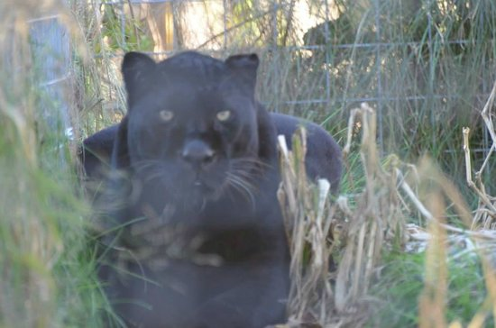 black leopard no such thing as black panthers fyi picture of