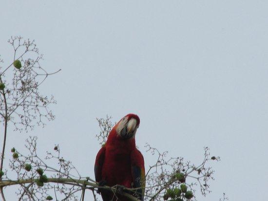 Hotel Cerro Lodge: Scarlet Macaw