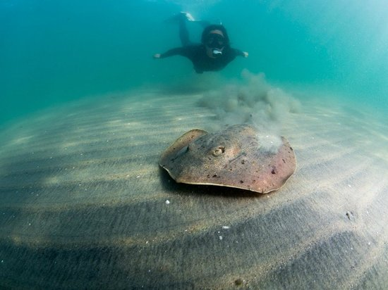 SD Expeditions: Summertime at the La Jolla Shores means lots of rays - photo by Kyle McBurnie