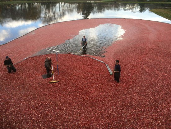 Acushnet, MA: Corralled cranberries.