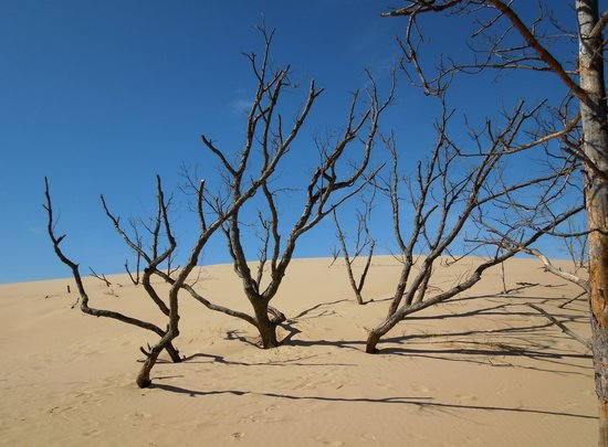 Silver Lake Sand Dunes: Ghost Forest