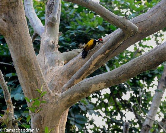 Corbett Safari : Rare multi-colored woodpecker inside Corbett Park