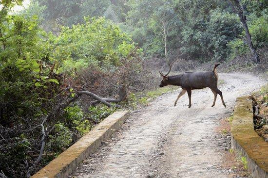 Corbett Safari : Sambhar deer crossing road in Jhirna
