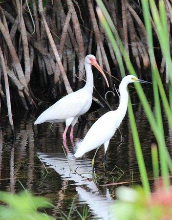 Everglades City, Φλόριντα: Ibis