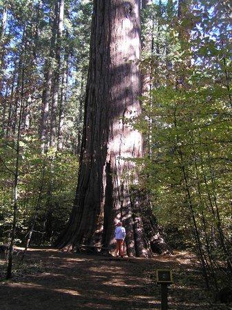 Mountain Retreat Resort, a VRI resort : Giant Sequoias at Calaveras Big Trees State Park, 4 miles from resort.