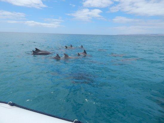 Kangaroo Island Ocean Safari: Dolphins just for us