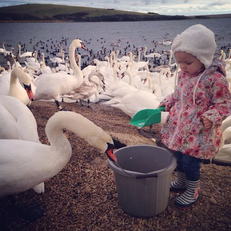 Abbotsbury Swannery: Feeding time at the swannery