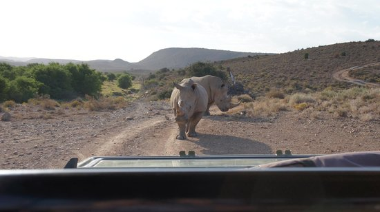 Sanbona Wildlife Reserve - Tilney Manor, Dwyka Tented Lodge, Gondwana Lodge: Even closer with the Rhinos