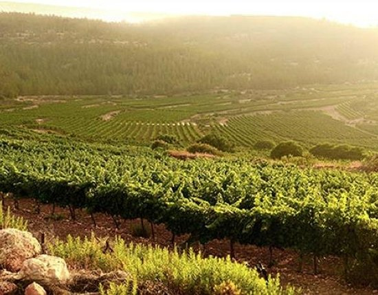 West Bank, ดินแดนปาเลสไตน์: Shiloh Winery Vineyards