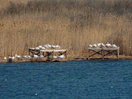 Silistra Province, Bulgaria: гнездовья кудрявых пеликанов