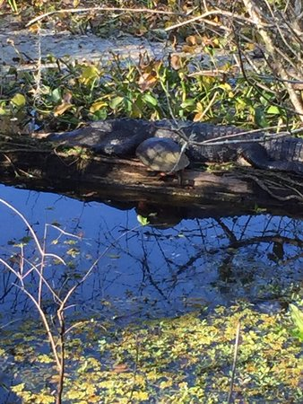 Lettuce Lake Regional Park: This gator was napping with turtles