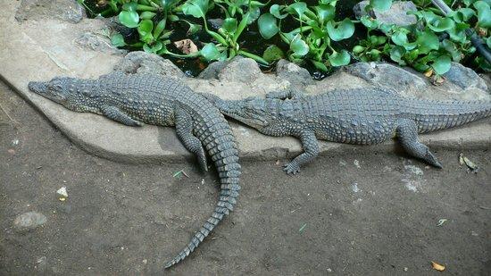 Meserani Snake Park : Crocodile