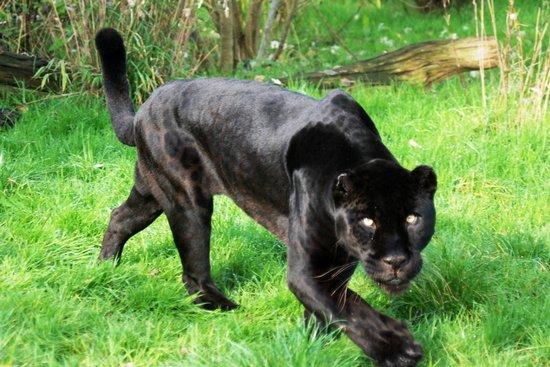 athena the black jaguar picture of the big cat sanctuary s