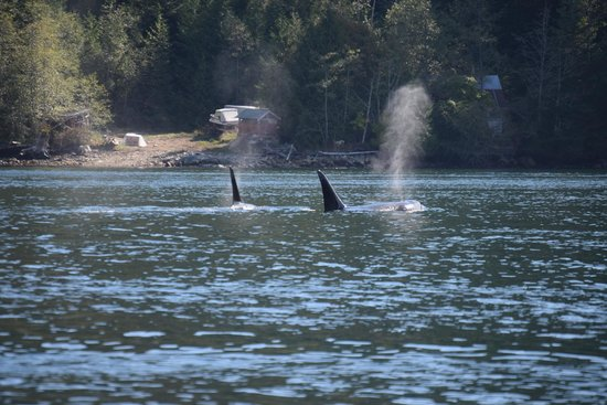 Eagle Eye Adventures: Orca's at Campbell River
