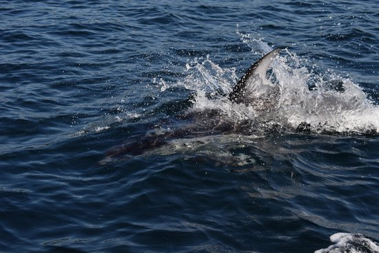 Eagle Eye Adventures: Pacific White Sided Dolphins