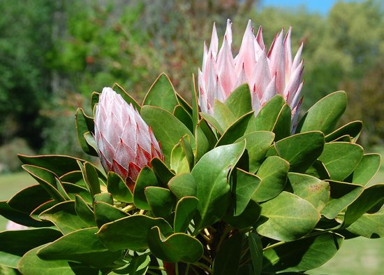 Boschendal Manor & Winery: Proteas in bloom at the Boschendal Winery Estate garden