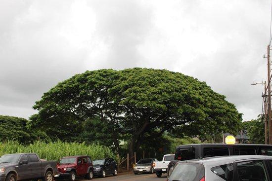 Tomkats Grille: Tree in Koloa