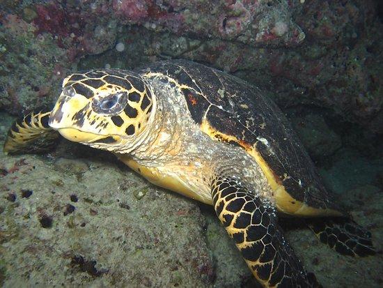 Bandos Maldives: Turtle on night dive