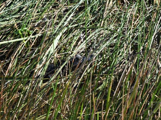 Everglades Day Safari: baby gator