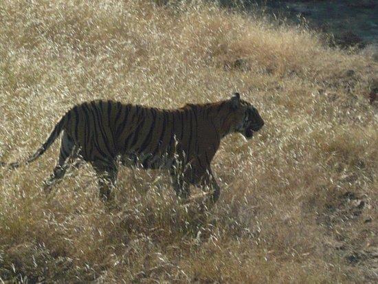 Tiger Safari Resort: krishna